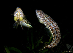 2 Young lizard fish having a territorial ding dong......t... by Allen Walker 